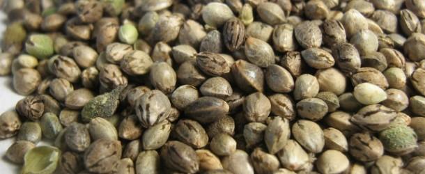 Scuffing Marijuana Seeds