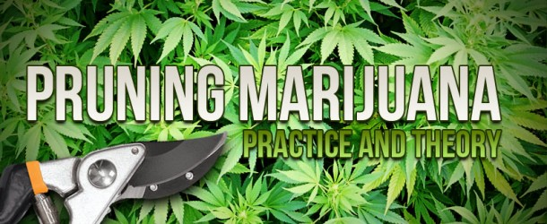 Pruning Marijuana Plants: Practice and Theory