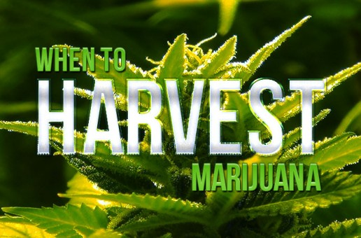 When To Harvest Marijuana