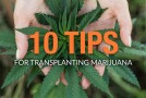 10 Tips for Transplanting Marijuana